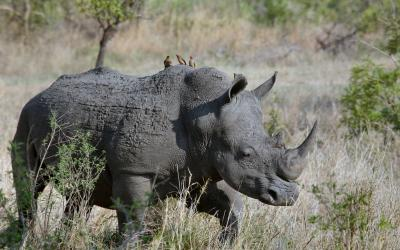 Rhino with three birds on his back in grasslands