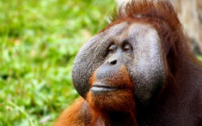 Oil Palms to Orangutans - Forest Conservation in Borneo